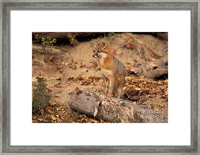 Gray Fox Urocyon Cinereoargenteus Framed Print by Ron Sanford