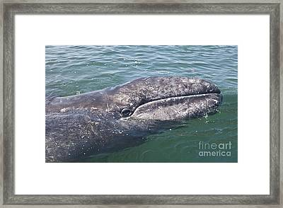 Gray / Grey Whale Eschrichtius Robustus Framed Print
