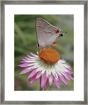 Gray Hairstreak And Straw Flower Framed Print by David and Carol Kelly