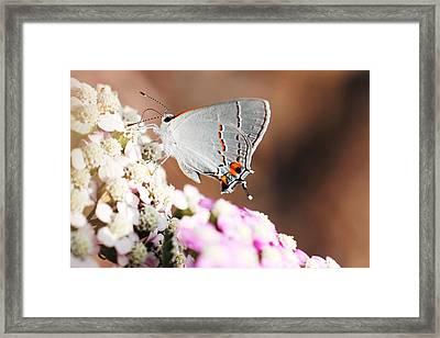 Gray Hairstreak Butterfly Framed Print