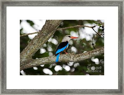 Gray-headed Kingfisher Framed Print by Gregory G. Dimijian, M.D.