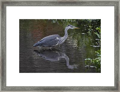 Gray Heron And Reflection Framed Print
