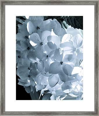 Gray Hydrangea Framed Print