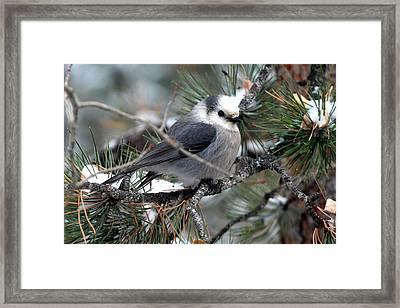 Gray Jay On A Snowy Pine Framed Print