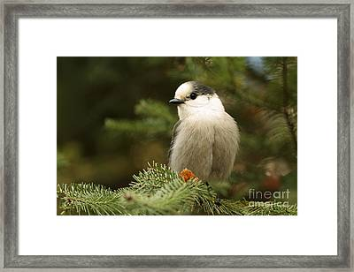 Gray Jay On An Autumn Day Framed Print by Inspired Nature Photography Fine Art Photography