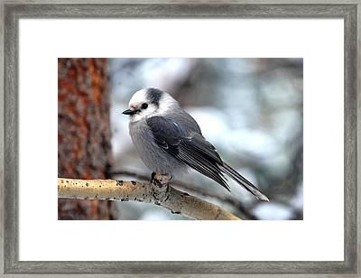 Gray Jay On Aspen Framed Print