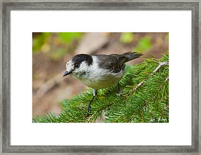 Gray Jay On Fir Tree Framed Print