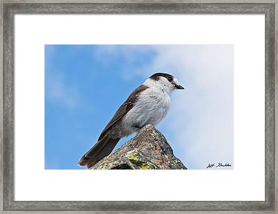 Gray Jay With Blue Sky Background Framed Print