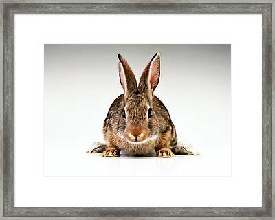 Gray Rabbit Bunny  Framed Print by Lanjee Chee