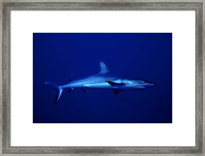Gray Reef Shark Framed Print