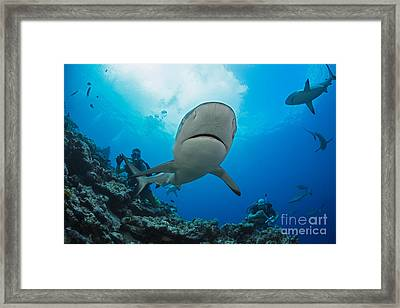 Gray Reef Sharks _carcharhinus Amblyrhynchos_ And Divers At A Dive Site Named Vertigo, Off The Island Of Yap_ Yap, Micronesia Framed Print