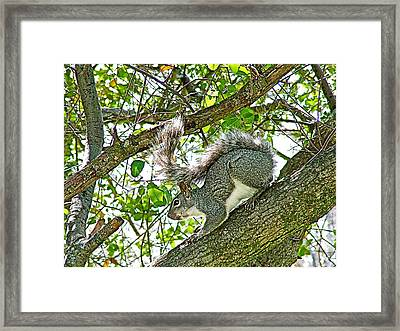 Gray Squirrel In A Tree In Park Sierra In Coarsegold-california Framed Print by Ruth Hager