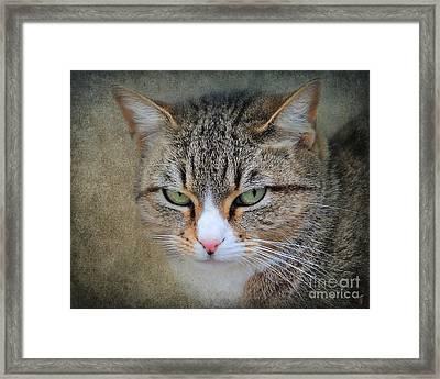 Gray Tabby Cat Framed Print by Jai Johnson