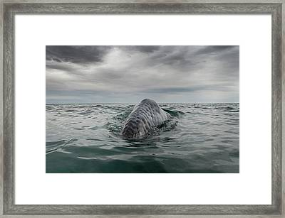 Gray Whale Breaching Framed Print by Christopher Swann