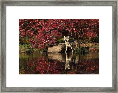 Gray Wolf At Waters Edge Framed Print