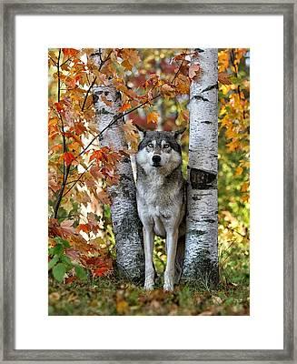 Gray Wolf Between Aspens Framed Print