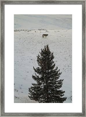 Gray Wolf - Big Gray Framed Print