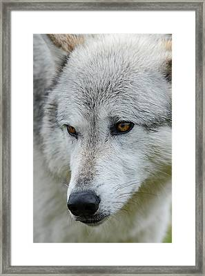 Gray Wolf, Canis Lupus, West Framed Print