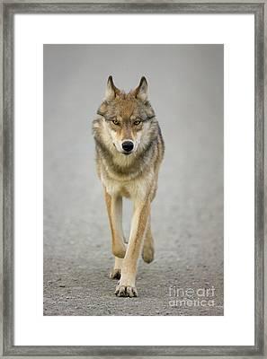 Gray Wolf Denali National Park Alaska Framed Print