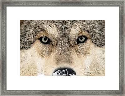 Gray Wolf Face Framed Print