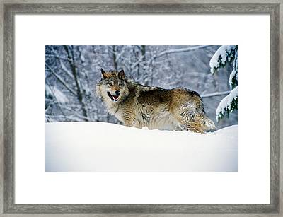 Gray Wolf In Snow, Montana, Usa Framed Print
