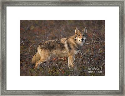 Gray Wolf On Tundra In Denali Framed Print