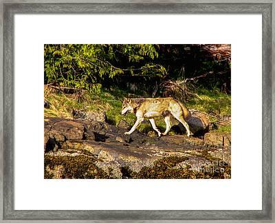Gray Wolf Framed Print by Robert Bales