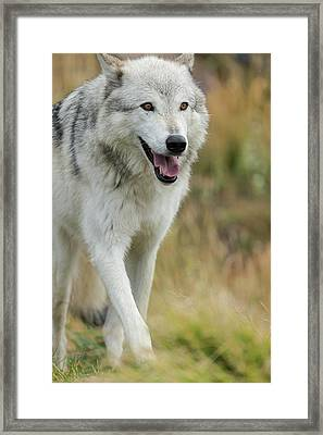 Gray Wolf Running In A Fall Drizzle Framed Print