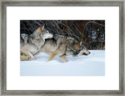 Gray Wolves (canis Lupis Framed Print by Richard and Susan Day
