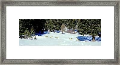 Gray Wolves Canis Lupus Running Framed Print