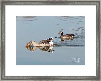 Greylag Geese Pair Framed Print