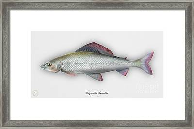 Grayling - Thymallus Thymallus - Ombre Commun - Harjus - Flyfishing - Trout Waters - Trout Creek Framed Print