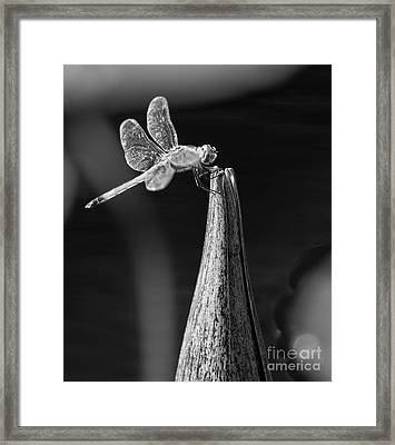 Grayscale Dragonfly Macro On A Water Lily Framed Print by Brandon Alms