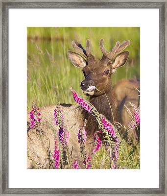 Framed Print featuring the photograph Grazing At Dusk - Cropped by Todd Kreuter