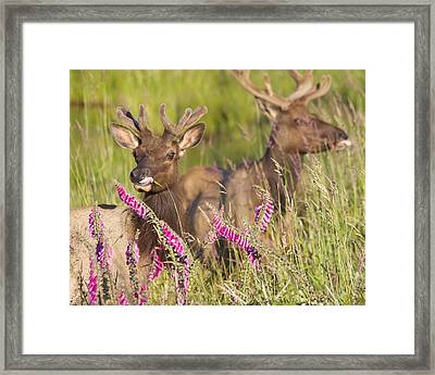 Framed Print featuring the photograph Grazing At Dusk by Todd Kreuter
