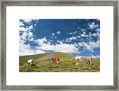 Grazing Cows Framed Print by Ashley Cooper