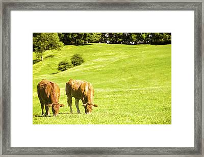 Grazing Cows Framed Print by Amanda Elwell