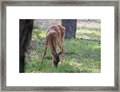 Grazing Fawn Framed Print