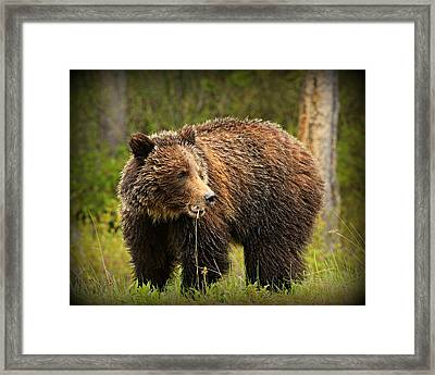 Grazing Grizzly Framed Print by Stephen Stookey