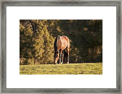 Grazing Horse At Sunset Framed Print by Michelle Wrighton