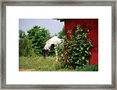 Grazing Framed Print by Linda Segerson
