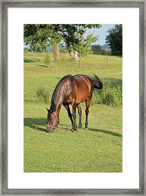 Grazing Mare Framed Print by Lorna Rogers Photography
