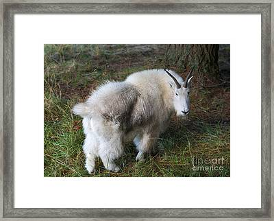 Grazing Mountain Goat Framed Print by Mike Dawson