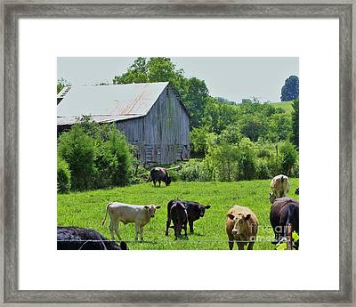 Grazing Near The Barn Framed Print by Chuck  Hicks