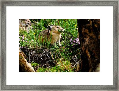 Grazing Pika Framed Print by Bonnie Fink