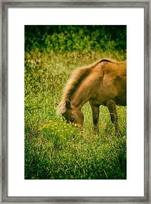Grazing Pony Framed Print by Karol Livote