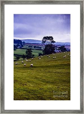 Grazing Sheep Emerald Isle Framed Print by Thomas R Fletcher