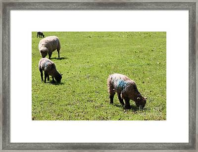 Grazing Framed Print by Vicki Spindler