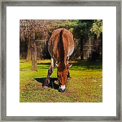 Grazing With An Attitude Framed Print