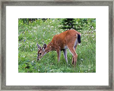 Grazing Young Buck Framed Print by Mike Dawson